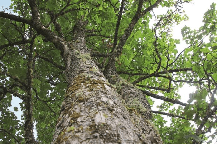 Baum im Lehrpfad in Kleinarl